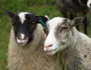 """Bev A and Chris M - These lovelies were the inspiration/mascots for their """"Tour de Fleece team, """"Ewe Two."""""""